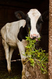Young calf Stock Photos