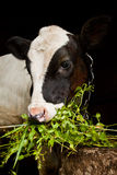 Young calf Royalty Free Stock Images