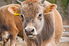 Young calf Royalty Free Stock Photography