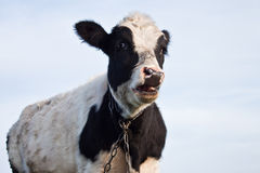 Young calf Stock Photo