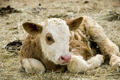 Young calf Stock Photography