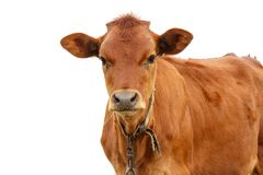 Young brown calf on white background closeup royalty free stock photography