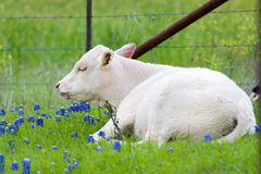 Young Calf in a Bluebonnet pasture Stock Images