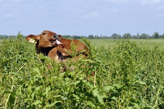Young calf cow in nature Royalty Free Stock Photography