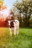 Young Calf. Young dairy calf grazing in lush spring meadow with sun flare effect Royalty Free Stock Images