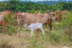 Young calf drinks milk from his mother Stock Photos