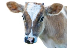 Young calf eyes the camera isolated. Portrait of a brown and white  calf looking at the camera isolated on white Royalty Free Stock Photo