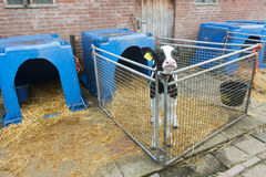 Young calf at the farm Royalty Free Stock Images