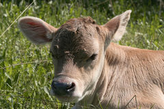 The young calf. A young calf in the forest lying on the green grass Stock Photo