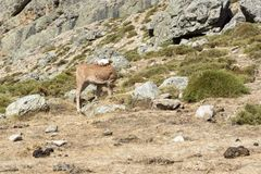 Young calf freely roaming on mountain meadow Royalty Free Stock Image
