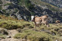Young calf freely roaming on mountain meadow Royalty Free Stock Photos