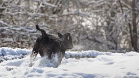 Young calf running through snow. stock images