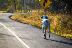 Young calf going for a run ahead of us along the Highway royalty free stock photography