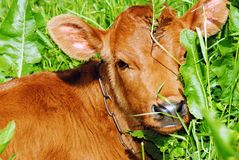 A young calf in the grass Stock Image