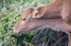 Young Calf Grazing Stock Photos