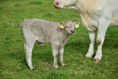 A young calf in Ireland royalty free stock image