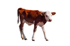 Young calf isolated on white. Royalty Free Stock Image