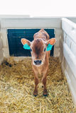 Young calf Jersey breed in a stall for calves Stock Image