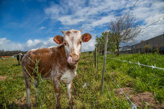 Free Young Calf Licking Stock Photos - 33795853