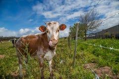 Young calf licking Stock Photos