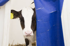 Young calf looks scared out of his house Stock Images
