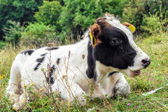 Young Calf with lots of flies  arround Stock Image