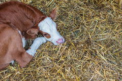 Young calf lying on hay Stock Photos