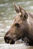 Young Calf Moose Royalty Free Stock Photo