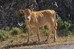 Young calf near Belgodere, Nebbio region, Corsica, France Stock Images
