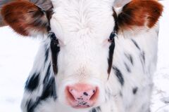 Free Young Calf Of A Dairy Cow With Big Ears. Cattle In The Paddock Outdoors In Winter. White Cow With Black Spots, Close-up Portrait Royalty Free Stock Images - 198271829