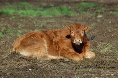 Young calf. One young calf lying on the grass Stock Image