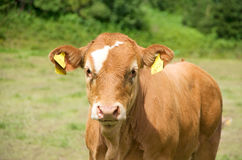 Cow calf Stock Image