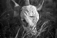 Young calf on the pasture, monochrome effect. Stories about rural life in Ukraine stock photo