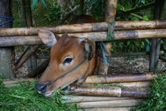 The young calf in the pen on the farming area of Ubud village, Island Bali, Indonesia. Close up stock photos