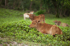 Young calf relaxing Stock Images