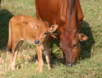 Young calf and it's mom. Grazing the field Stock Photography