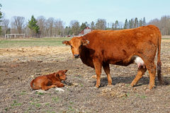 Young calf and it's mother Royalty Free Stock Photos