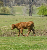 Young calf sad and lonely stock image