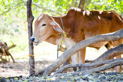 A young calf shelters from the hot sun under some trees in Anura. Dhapura, Sri lanka Royalty Free Stock Photo
