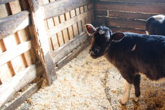 Young calf in the stable Royalty Free Stock Photo