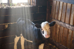 Young calf in the stable Royalty Free Stock Photography