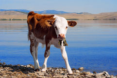 Young calf standing alone at the water. Newborn baby cow stock images