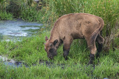 Young calf of wisent or European wood bison in Stock Photo