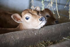 Young Calf Yearning for Food Stock Image