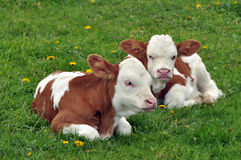 Young calfs in the grass Royalty Free Stock Image