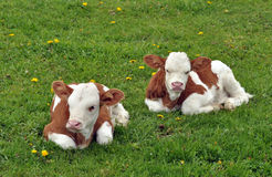 Young calfs in the grass Royalty Free Stock Photos