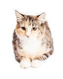 Young Calico Kitty Laying Looking Forward Stock Photography