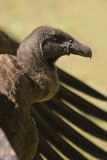 Young California Condor. Young species of the California Condor sitting with its wings upset stock images
