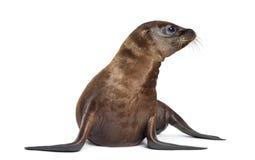 Young California Sea Lion Stock Photography