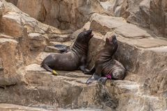 Free Young California Sea Lion Pups Playing On The Rocks At Seaworld 3 Royalty Free Stock Photo - 155144665